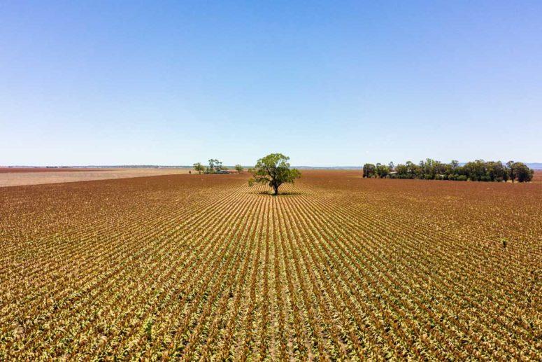 dalby crops